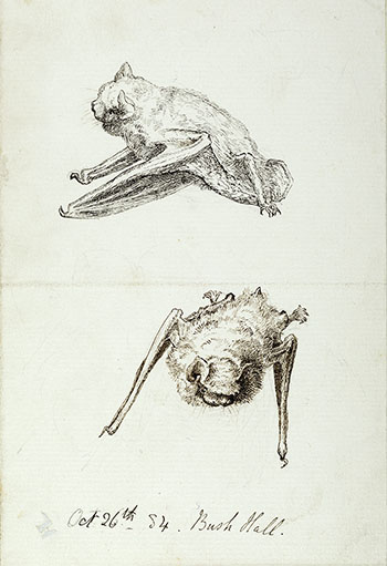 This is an image of Beatrix Potters watercolour titled Pipistrelle and Long-eared Bats