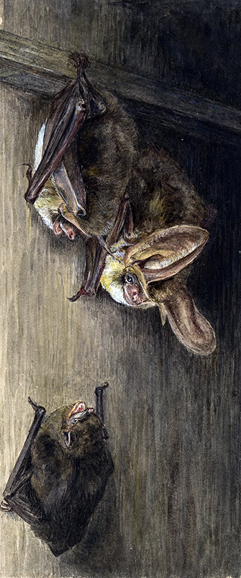 This is an image of Beatrix Potters watercolour titled Common Bat, Pipistrelle, Flittermouse