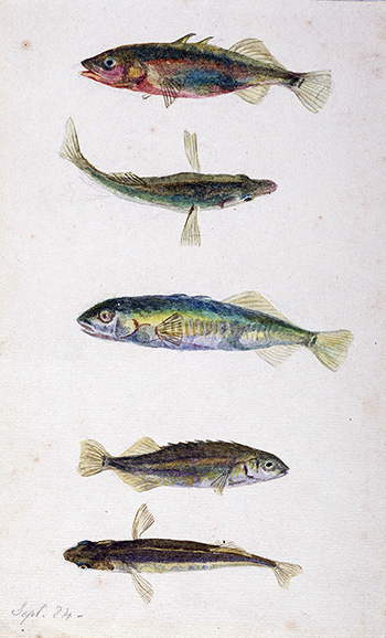 This is an image of Beatrix Potters watercolour titled Three spined and ten spined sticklebacks or Gastroteus aculeatus and gastroteus pungitius