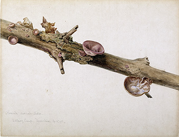 This is an image of Beatrix Potters watercolour titled Himeola auricula