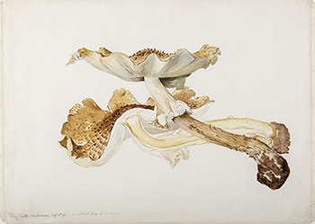 This is an image of Beatrix Potters watercolour titled Lepiota friesii