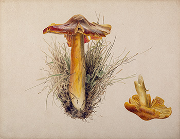 This is an image of Beatrix Potters watercolour titled Hygrophorus puniceus