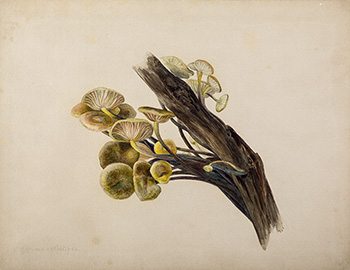 This is an image of Beatrix Potters watercolour titled Flammulina velutipes