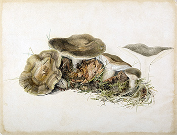 This is an image of Beatrix Potters watercolour titled Lactarius blennius