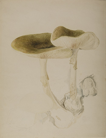This is an image of Beatrix Potters watercolour titled Amanita phalloides