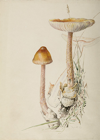 This is an image of Beatrix Potters watercolour titled Amantopsis vaginata