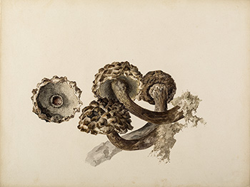 This is an image of Beatrix Potters watercolour titled Strobilomyces strobilaceus